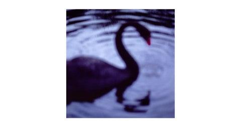 <i>Black Swan, Centennial Park, Sydney, Australia,</i> 2004, by John Huggins, offered by Sears-Peyton Gallery