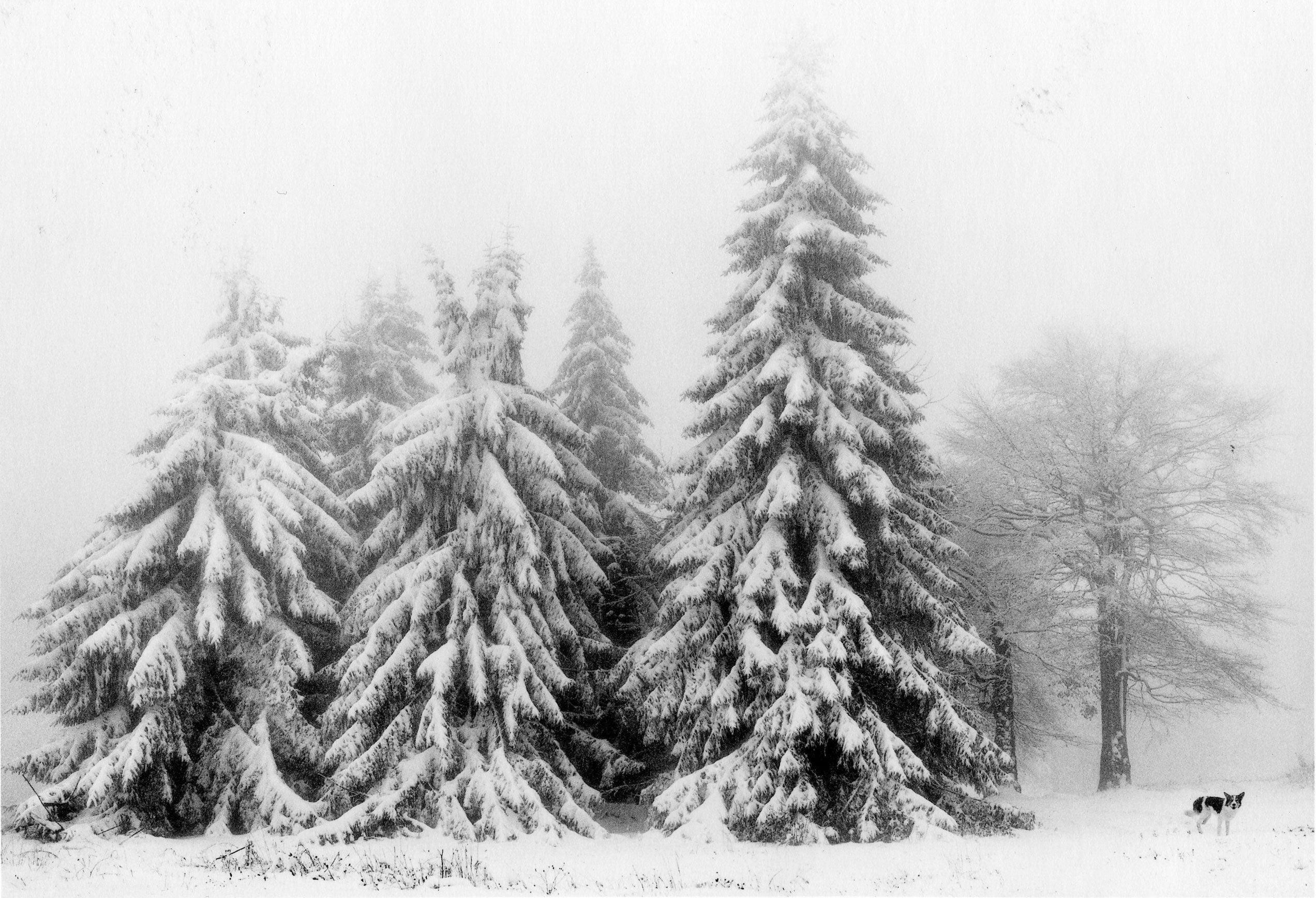 Petrohan, Bulgaria (Three Snow Covered Trees), 2003